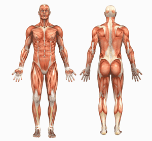 the main muscles of the body for bodybuilding | iron fitness, Muscles